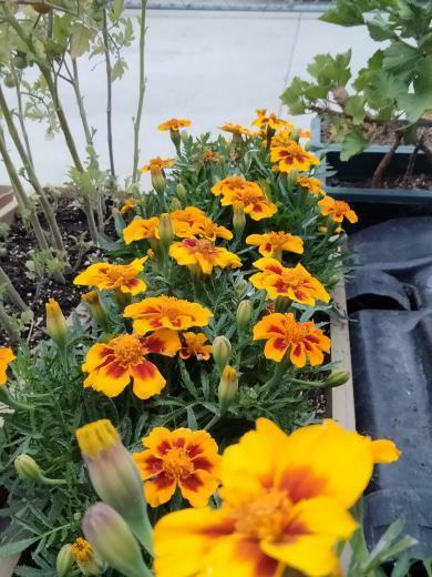 FLOWERS AND PLANTS FOR THE SUMMER- Andrew Lopez, a junior, grew marigolds this year. He plans on planting more flowers in the near future.